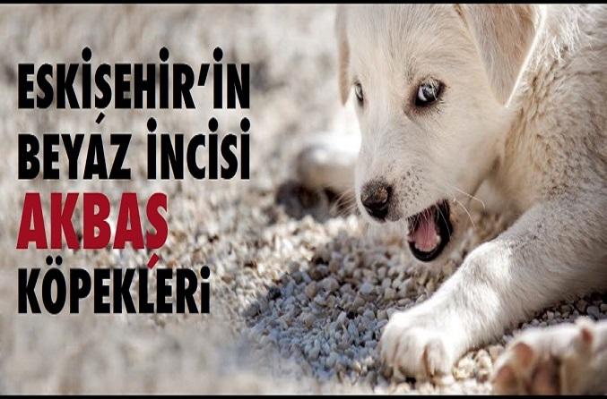 akbas kopek - Eskişehir'in Beyaz İncisi Akbaş Köpekleri