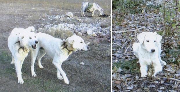 akbash shepherds dog - Akbash Shepherd's Dog
