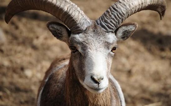 anadolu yaban koyunu - Yaban Koyunu Envanteri