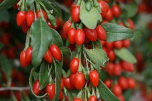 kurt uzumu 300x200 - Goji Berry Meyvesi