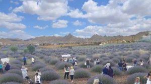 sivrihisar lavanta bahce 2 300x168 - Alternatif Tarım Ürünleri